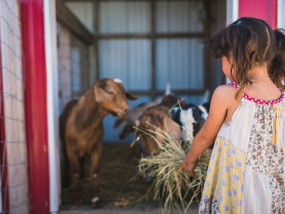 ​Seek out creature comforts in Winnipeg, a wildly nice place - The petting zoo at A Maze in Corn is home to goats, alpacas, calves and kittens. / Photo by Black Chair