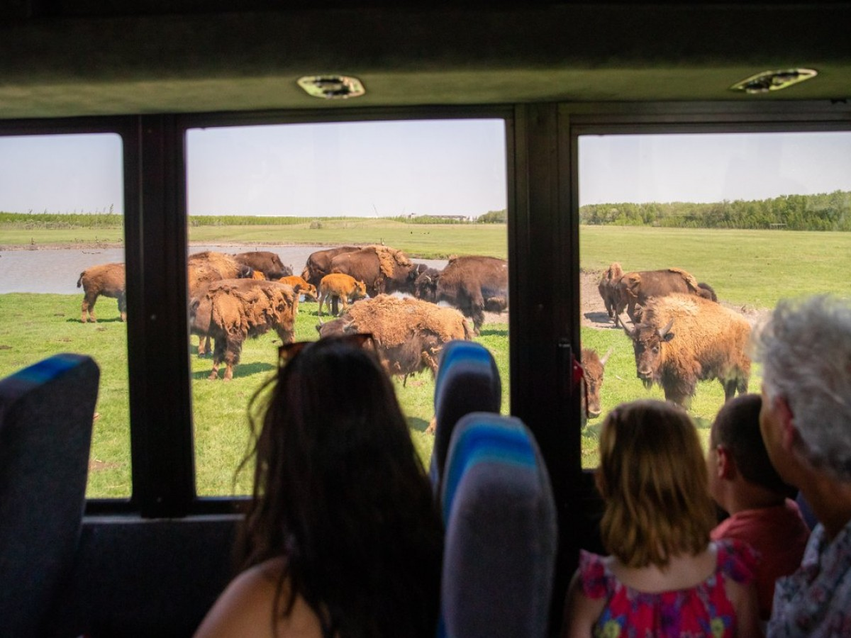 Seven local memberships to gift this year instead of Netflix - Gifting a membership to FortWhyte Alive helps keep programs going, like the bison safari.