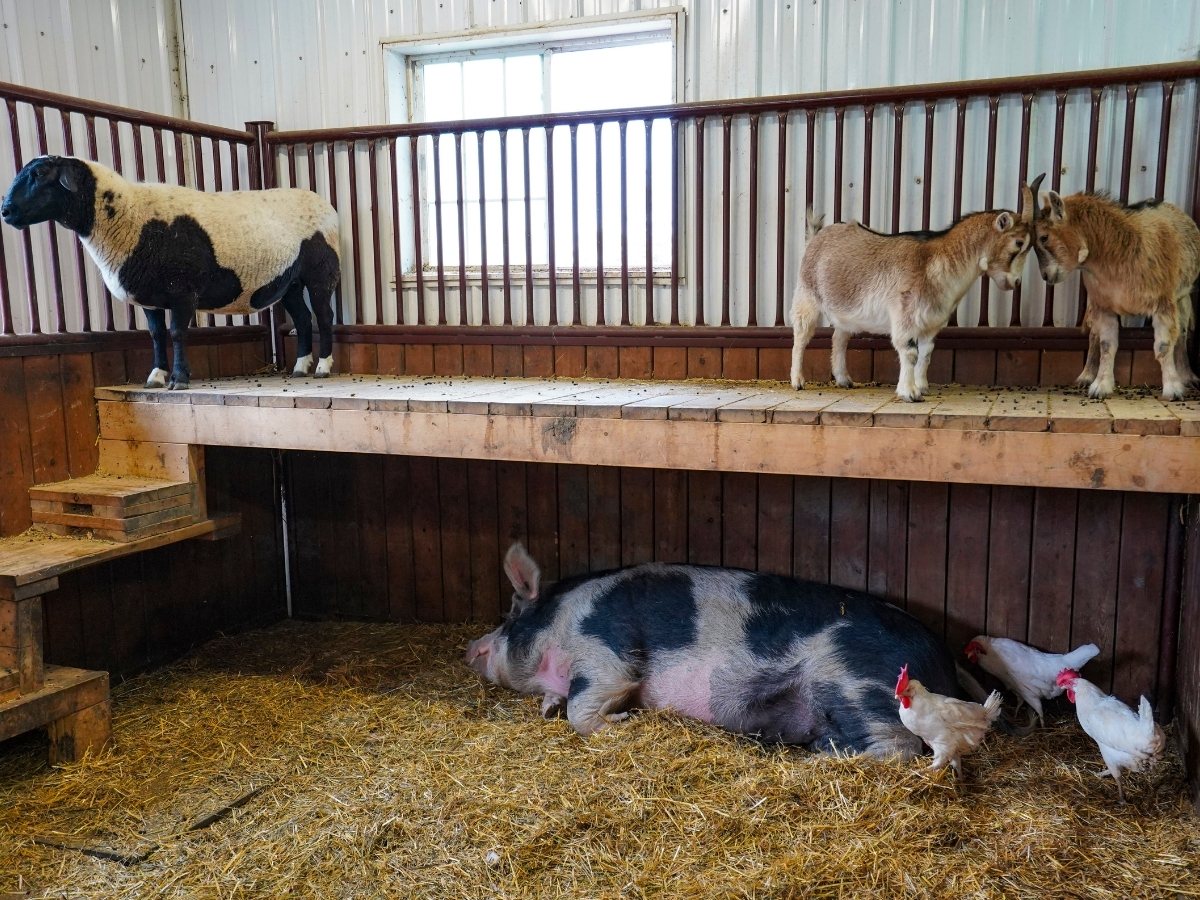 The Little Red Barn Micro-Sanctuary is the cutest farm in Winnipeg - Photo by Maddy Reico