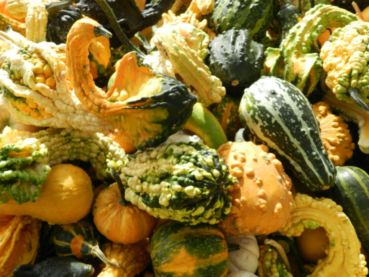 Harvest Season: Henderson Highway Pumpkin Patch - Actually delicious and nutritious, once prepared properly.