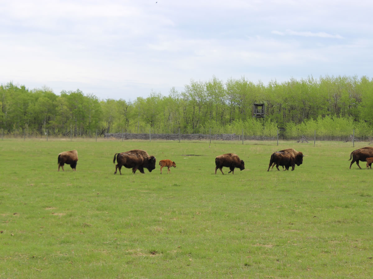 A Prairie Legacy: The Bison and its People -