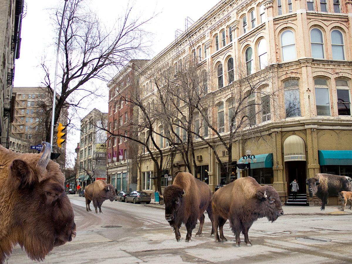 Winnipeg's first urbanite bison herd now roams free in the Exchange District - Winnipeg's new urban bison herd on Albert Street (Karen Allen)