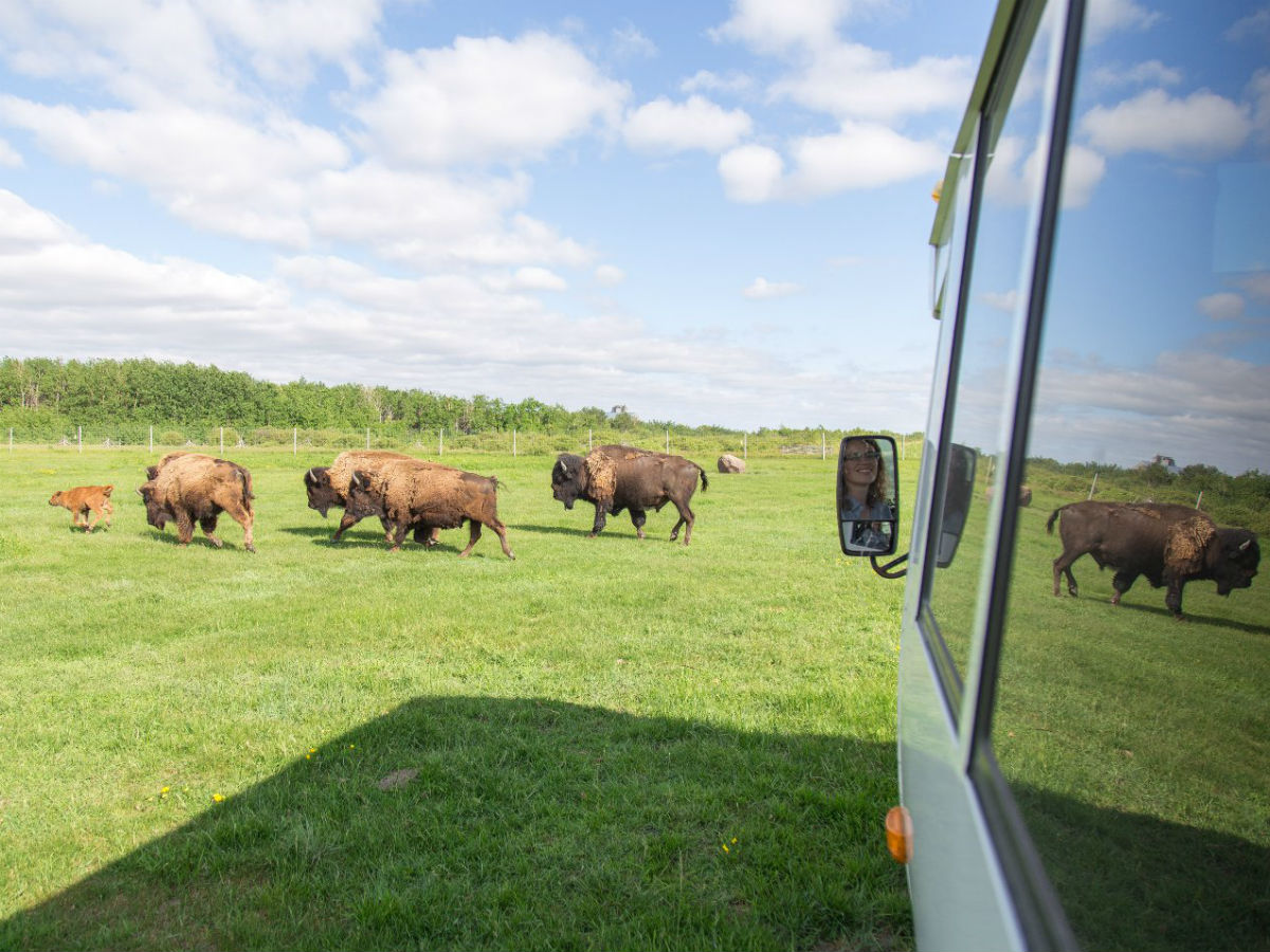 FortWhyte Alive's A Prairie Legacy Experience will see you roam with bison - Get up close to North America's largest urban bison herd at FortWhyte Alive (photo by Mike Peters)