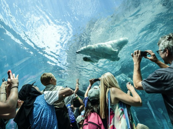 Family Guide to Spring Break in Winnipeg - You won't need to hold your breath, but you just might, as polar bears swim above you at the Assiniboine Park Zoo.