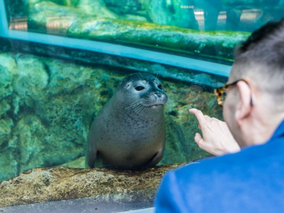 What's open in Winnipeg now that restrictions have lessened - Assiniboine Park Zoo is now open again, so you can say hello to the seals - and no, he's not touching the glass (photo by Mike Peters)