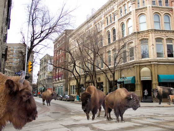 Winnipeg's first urbanite bison herd now roams free in the Exchange District