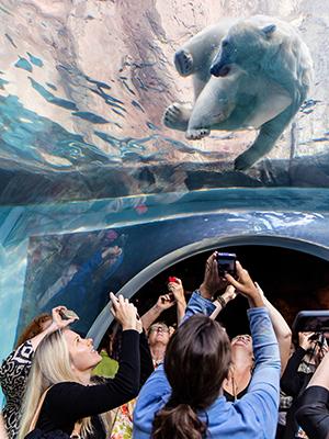 Swim with the Polar bears - representative image