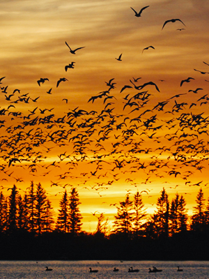 Experience Migration Season at FortWhyte Alive - representative image