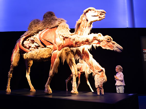 Body Worlds:  Animal Inside Out - representative image